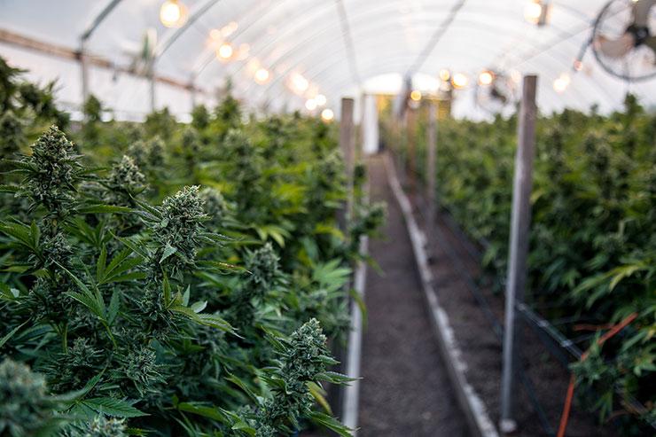 Serre de cannabis